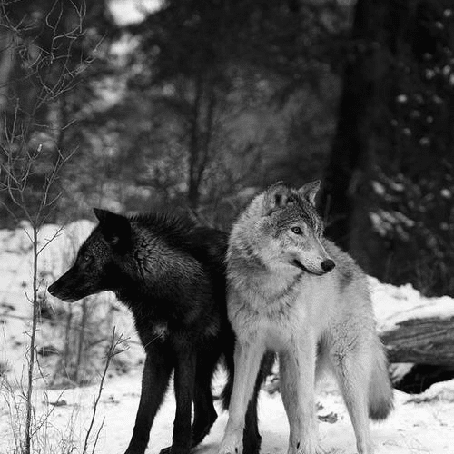 the wolf you feed.